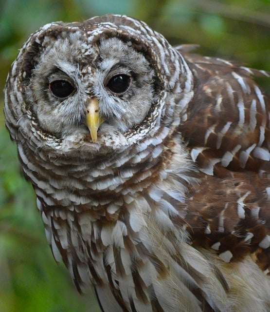 Barred Owl Closeup
