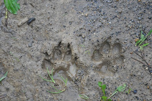 Canine Tracks In Mud