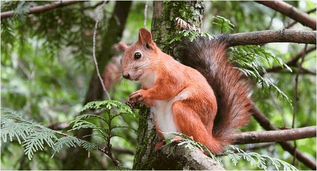 Red Squirrel Cedar