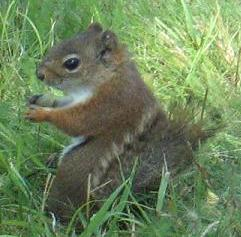 Red Squirrel on the lawn