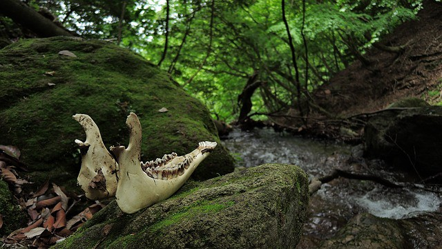 Ungulate Jawbone Woods