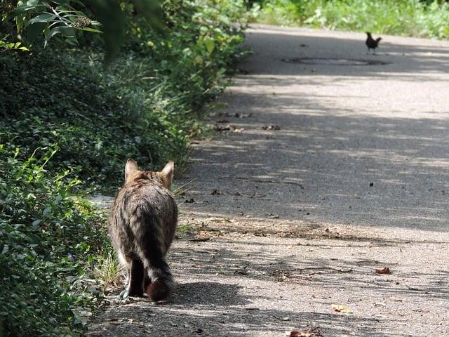 Cat stalking a bird on the ground
