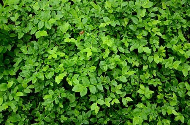Blueberry alternate branching