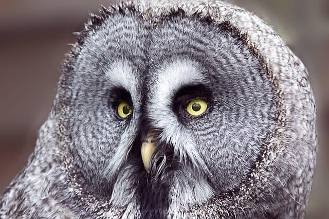 great grey owl eyes