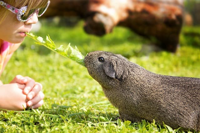 guinea pig dandelion