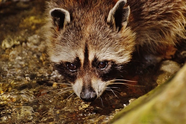 Raccoon drinking from a water source