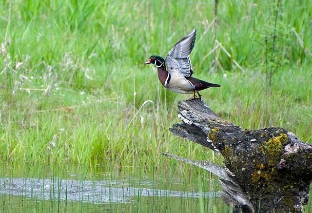 wood duck wetland plants