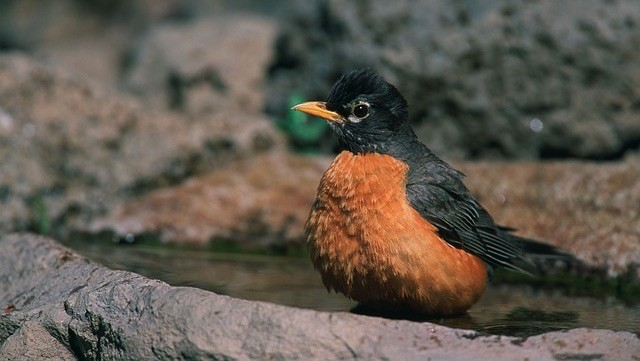 North American Robin: Essential Facts For Applied Alarm Behaviour