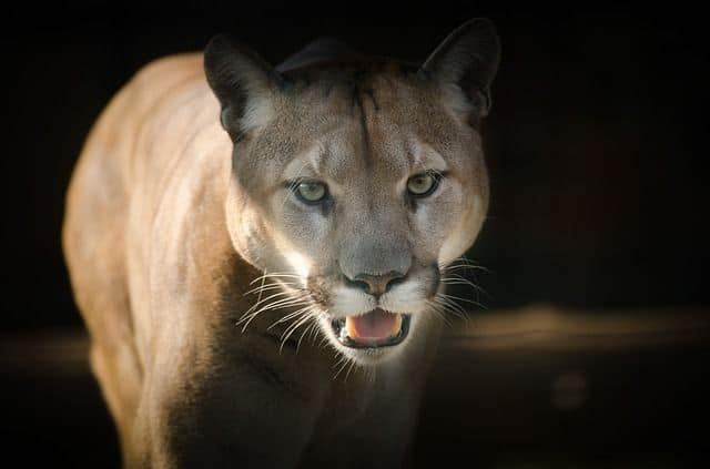 Cougar Encounter