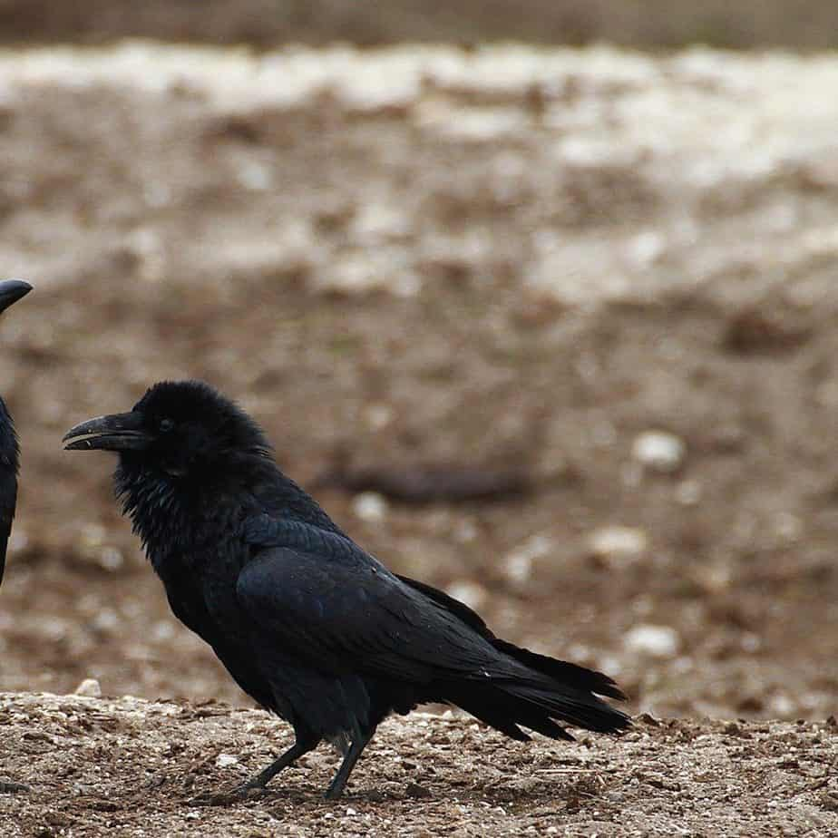 How To Understand Crow Language