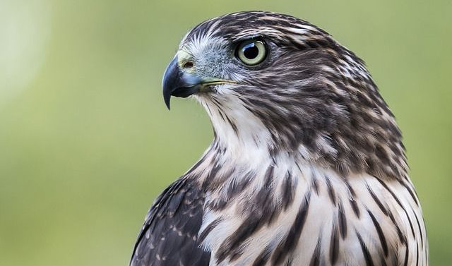 Cooper's Hawk In Montreal With Steve Leckman