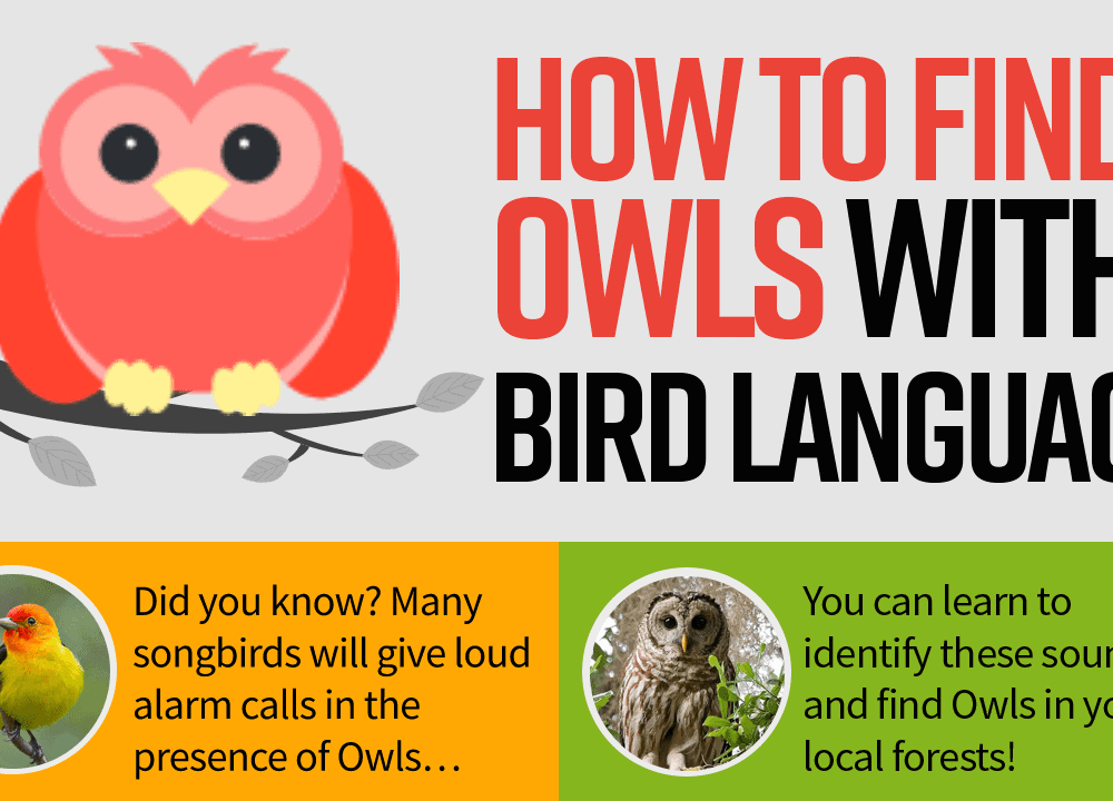 How To Find Owls With Bird Language (Infographic)