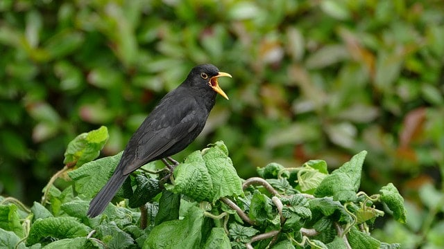 European Blackbird Calling