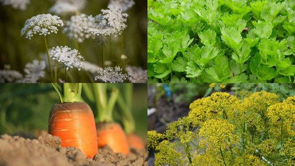 Plants In The Parsley Family