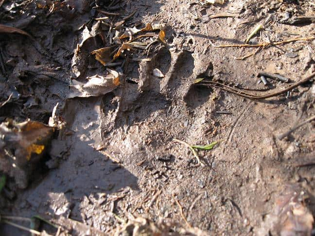 Raccoon Track Mud