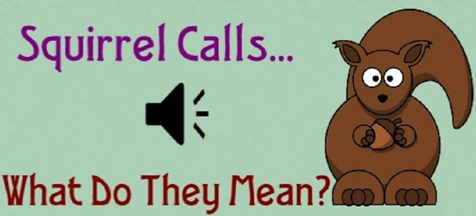 Squirrel Calls Meaning