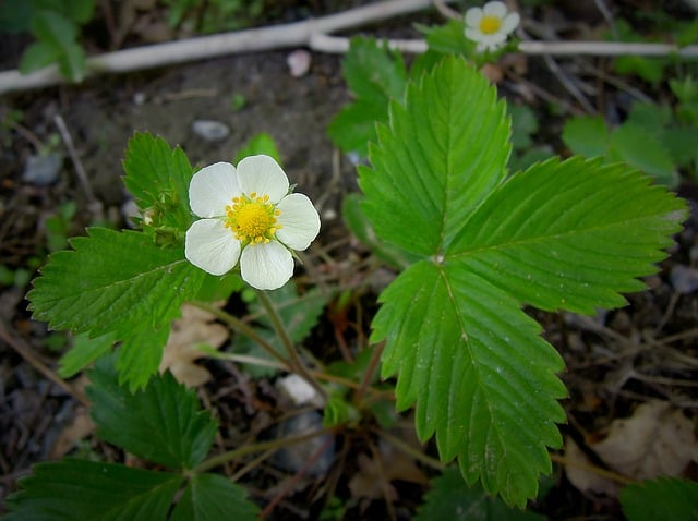 Strawberry Plant In Bloom
