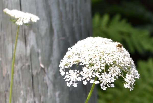 Wild Carrot Flower Attracting Insects