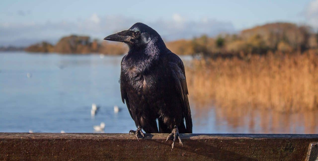 Oceanside Crow