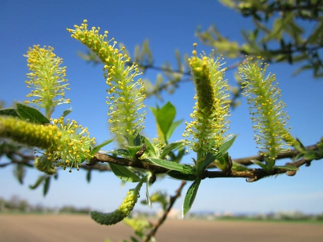 salix alba willow flowers