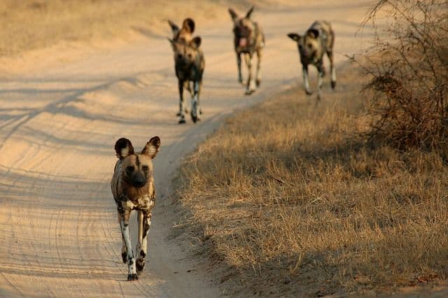 Tracking Canines