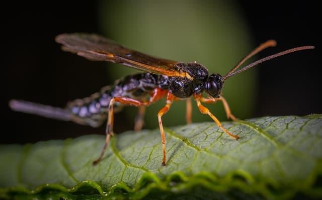 predatory wasp