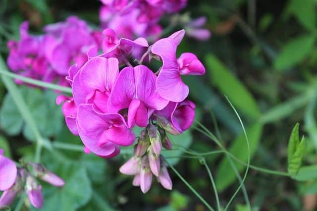 irregular pea flowers