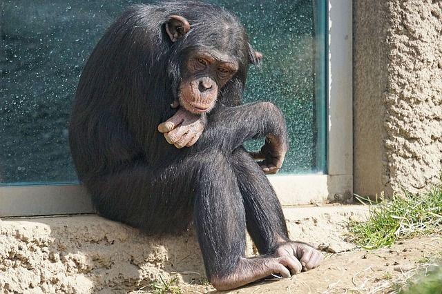 wild lifestyle chimpanzee