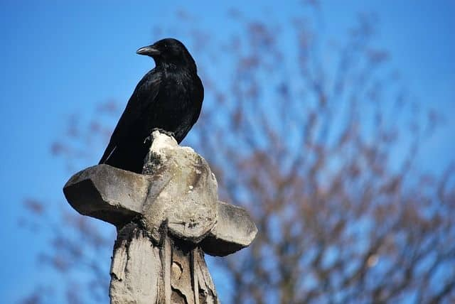 Corvid perched alertness