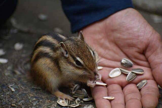 Hand feeding chipmunk