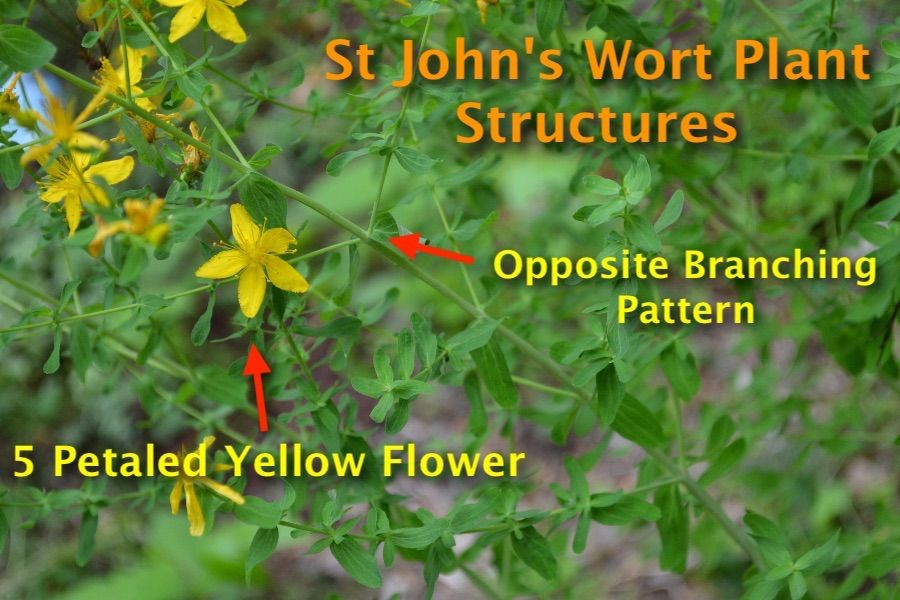 An example of plant structures using St John's Wort.