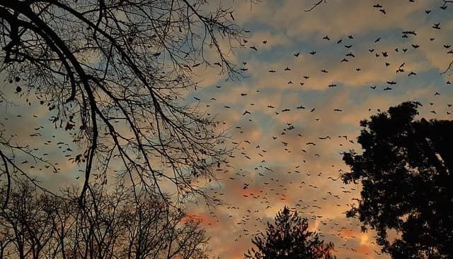 huge flock of crows flying together at sunset