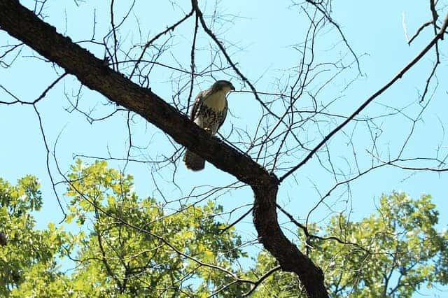 A large hawk perched on a tree branch in a hunting posture.